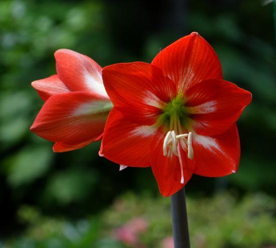 種から育てたアマリリスの開花♪_a0136293_17294683.jpg