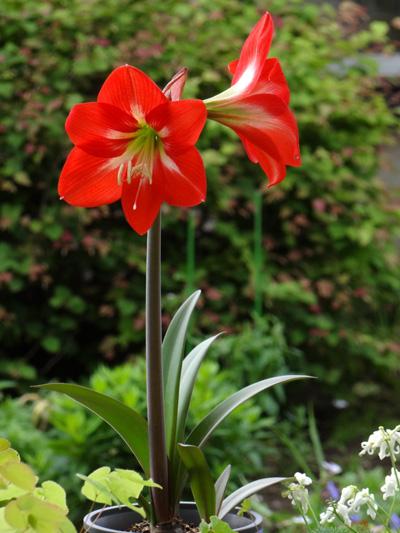 種から育てたアマリリスの開花♪_a0136293_17443356.jpg