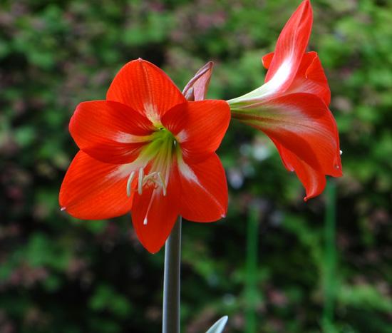 種から育てたアマリリスの開花♪_a0136293_1750490.jpg