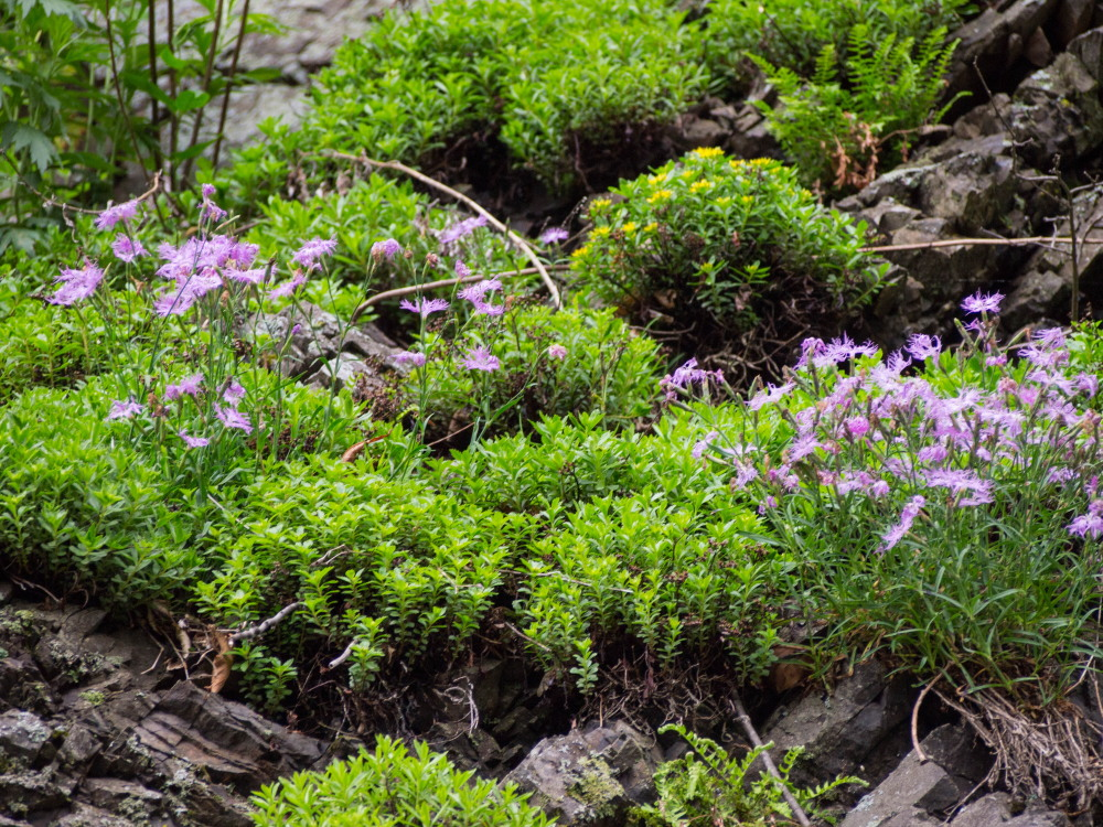 林道沿いの崖の上にピンクの花畑~「タカネナデシコ」の群落~_f0276498_22103836.jpg