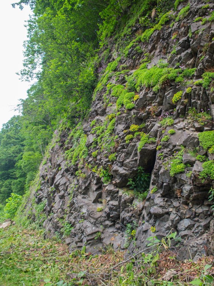 林道沿いの崖の上にピンクの花畑~「タカネナデシコ」の群落~_f0276498_22115137.jpg