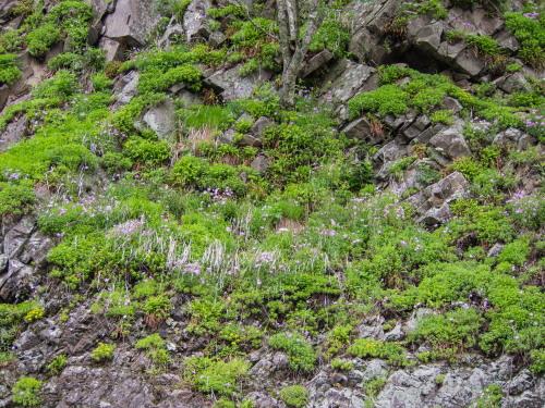 林道沿いの崖の上にピンクの花畑~「タカネナデシコ」の群落~_f0276498_22121268.jpg