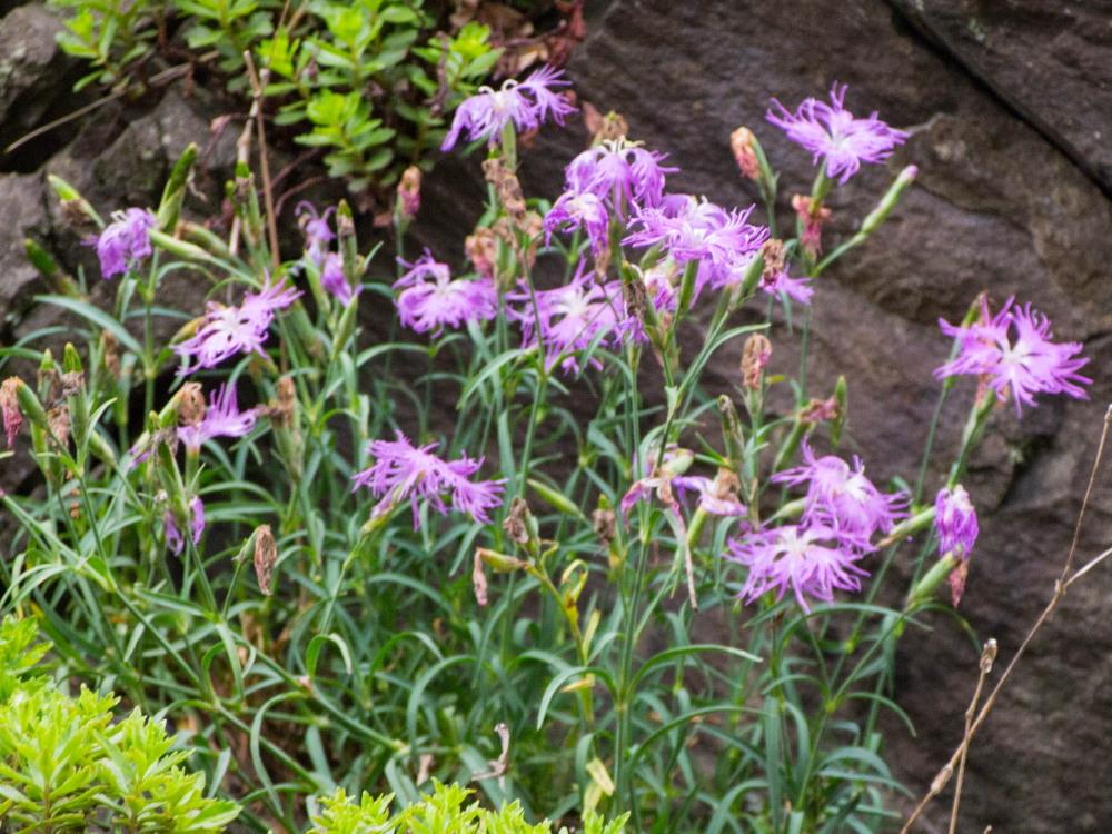 林道沿いの崖の上にピンクの花畑~「タカネナデシコ」の群落~_f0276498_22124064.jpg