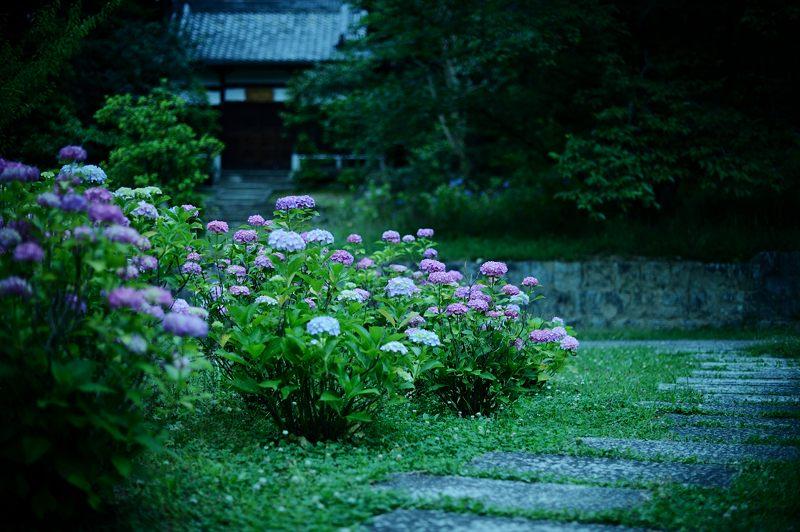 空梅雨の紫陽花巡り! 智積院_f0032011_19155373.jpg