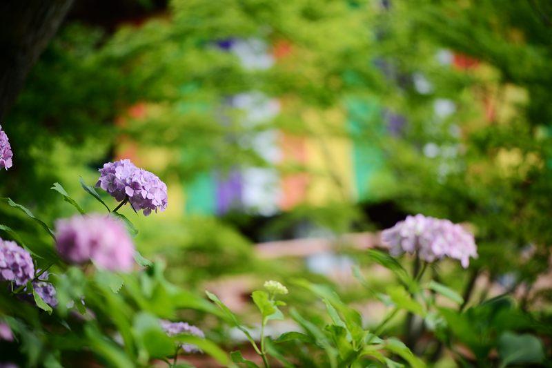 空梅雨の紫陽花巡り! 智積院_f0032011_19164571.jpg