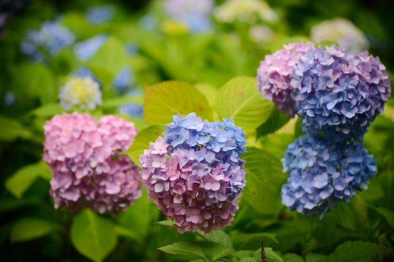 空梅雨の紫陽花巡り! 智積院_f0032011_19181930.jpg