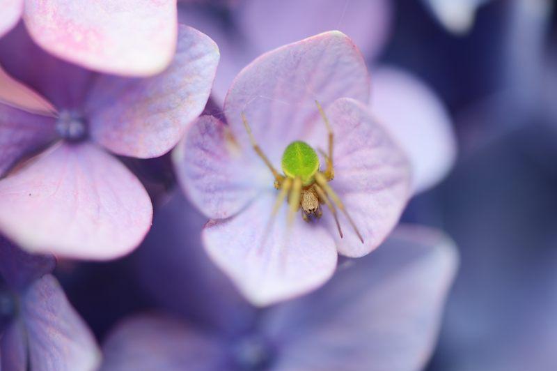 空梅雨の紫陽花巡り! 智積院_f0032011_1918313.jpg