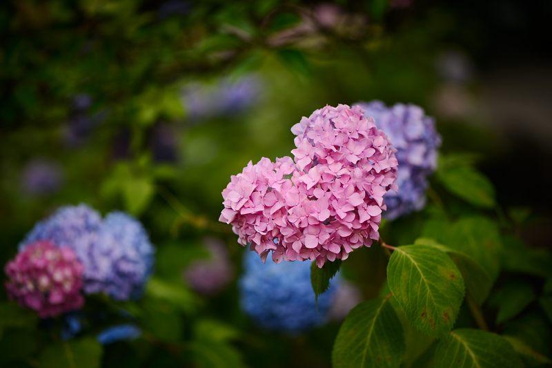 空梅雨の紫陽花巡り! 智積院_f0032011_19185955.jpg