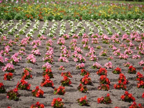 ラベンダー咲き始めましたよ♪_f0096216_17481293.jpg