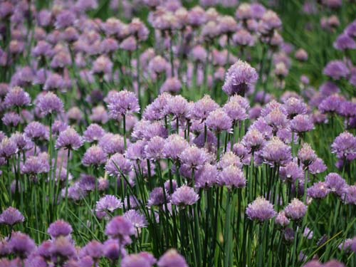 ラベンダー咲き始めましたよ♪_f0096216_17484129.jpg
