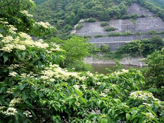 梅雨の最中に咲く水木_b0102572_11172472.jpg