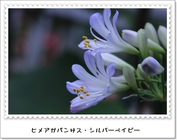 姫アガパンサス_b0214473_174959100.jpg