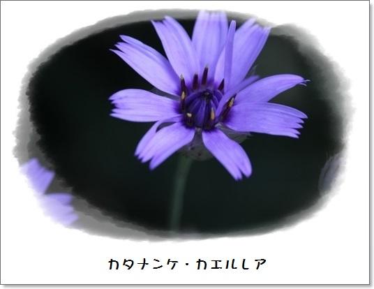 姫アガパンサス_b0214473_17501528.jpg