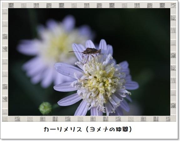 姫アガパンサス_b0214473_17504576.jpg