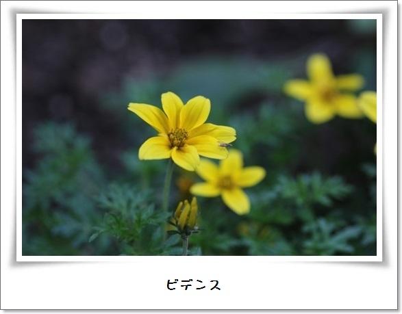 姫アガパンサス_b0214473_1751346.jpg