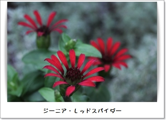 姫アガパンサス_b0214473_17514438.jpg