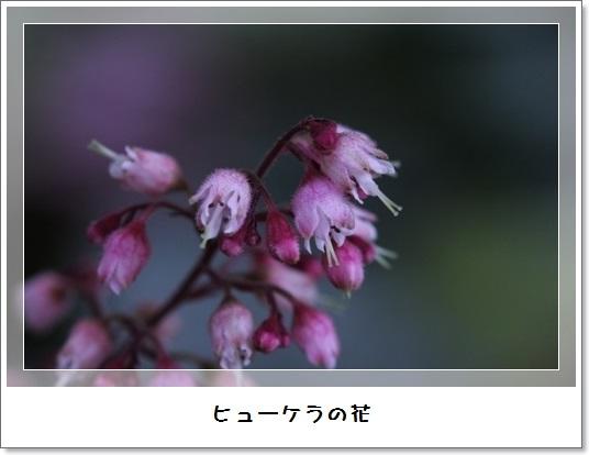 姫アガパンサス_b0214473_17521868.jpg