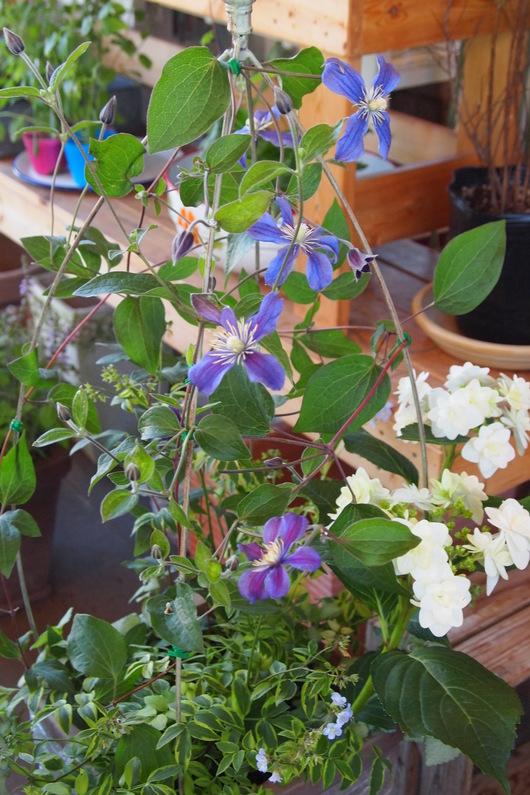 ハーブとお花の寄せ植え_a0292194_16425932.jpg