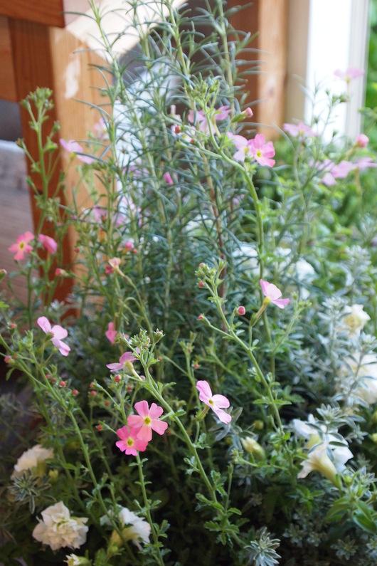 ハーブとお花の寄せ植え_a0292194_172175.jpg