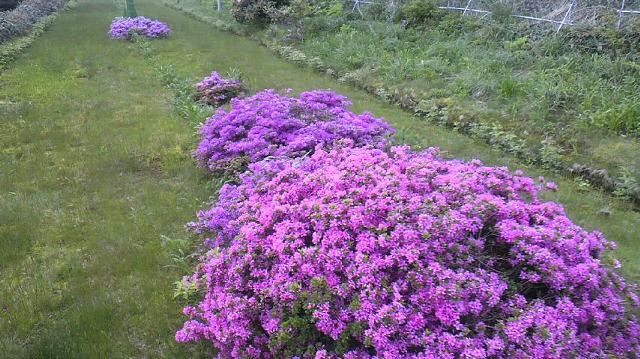 登山リフトで ミヤマキリシマがきれいに咲いてます。頂上付近だけ 雲・・・です。_c0089831_12402973.jpg