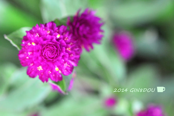 Globe amaranth_b0195242_127043.jpg