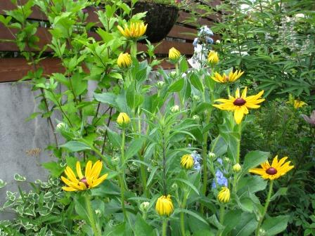 ルドベギアが咲き夏色の庭になってきました_a0243064_07003508.jpg