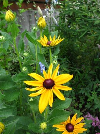ルドベギアが咲き夏色の庭になってきました_a0243064_07020480.jpg