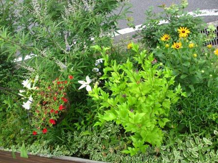 ルドベギアが咲き夏色の庭になってきました_a0243064_07025919.jpg
