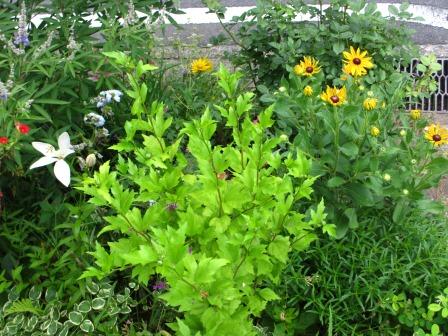 ルドベギアが咲き夏色の庭になってきました_a0243064_07035765.jpg
