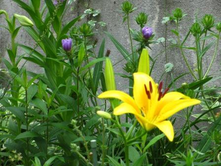 ルドベギアが咲き夏色の庭になってきました_a0243064_07050963.jpg