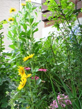 ルドベギアが咲き夏色の庭になってきました_a0243064_07225105.jpg