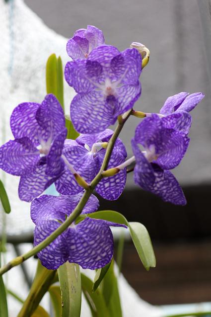 梅雨模様:V.coerulea(バンダ・セルレア) _d0007501_7131862.jpg