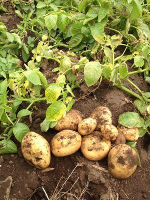 ジャガイモ収穫_d0000476_14402669.jpg