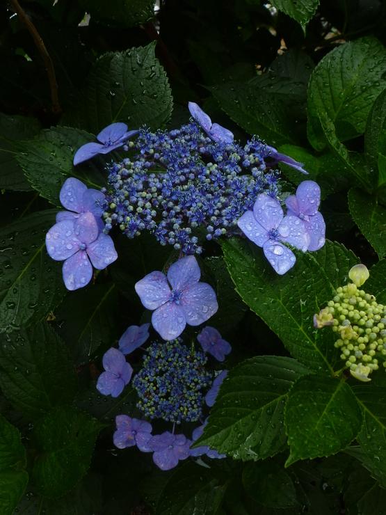 紫陽花の旅_a0225587_16295124.jpg