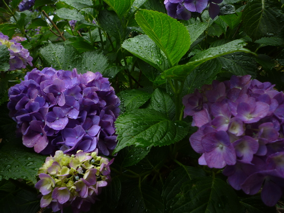 紫陽花の旅_a0225587_1629655.jpg