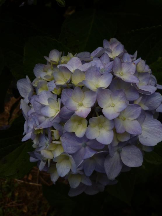 紫陽花の旅_a0225587_1632561.jpg