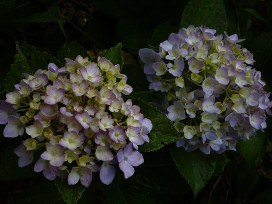 紫陽花の旅_a0225587_16341394.jpg