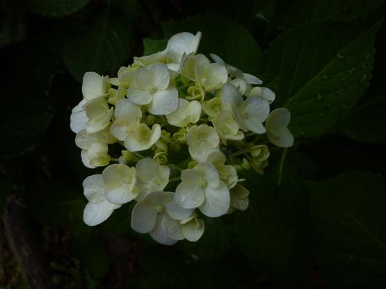 紫陽花の旅_a0225587_16351862.jpg