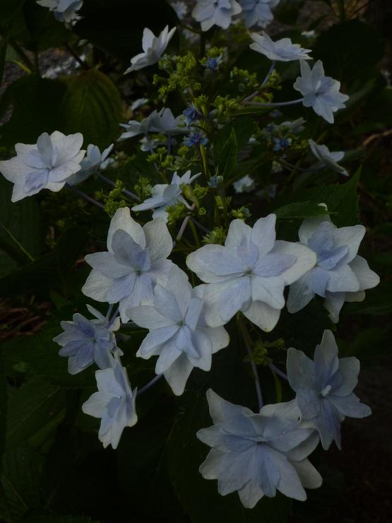 紫陽花の旅_a0225587_16363761.jpg