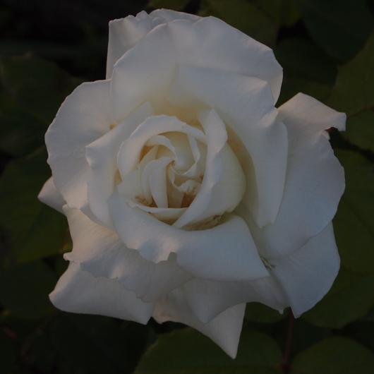 お店のバラたちも咲きだしました。_a0292194_19285932.jpg
