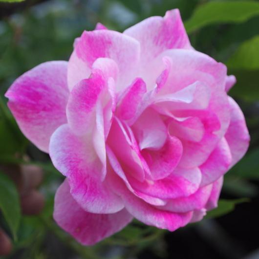 お店のバラたちも咲きだしました。_a0292194_19334230.jpg