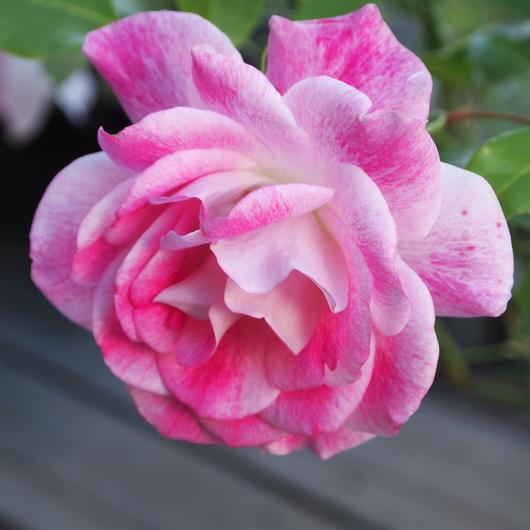 お店のバラたちも咲きだしました。_a0292194_19335917.jpg