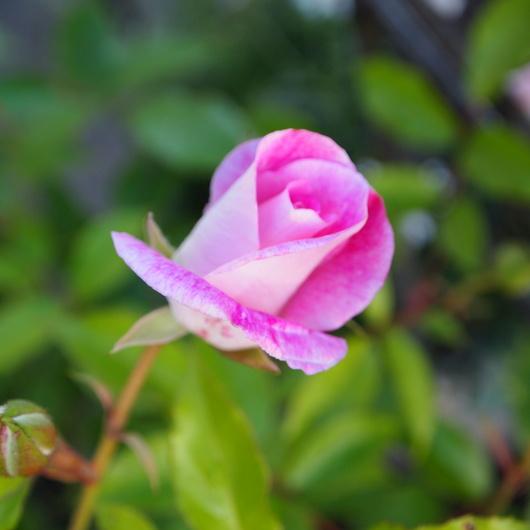 お店のバラたちも咲きだしました。_a0292194_193431100.jpg