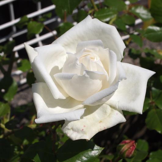お店のバラたちも咲きだしました。_a0292194_19352111.jpg