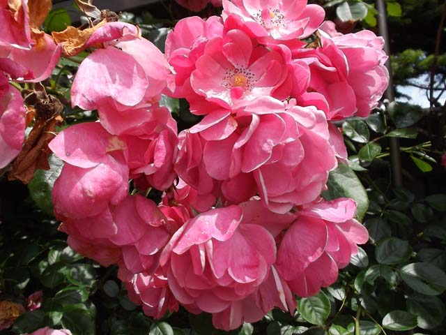 日本国花苑 秋田県井川町_f0019498_1548087.jpg