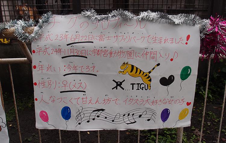2014.6.22 宇都宮動物園☆アムールトラのチグ【Tiger】_f0250322_2282575.jpg