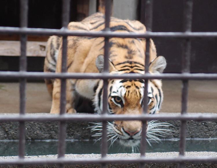 2014.6.22 宇都宮動物園☆アムールトラのチグ【Tiger】_f0250322_2284426.jpg