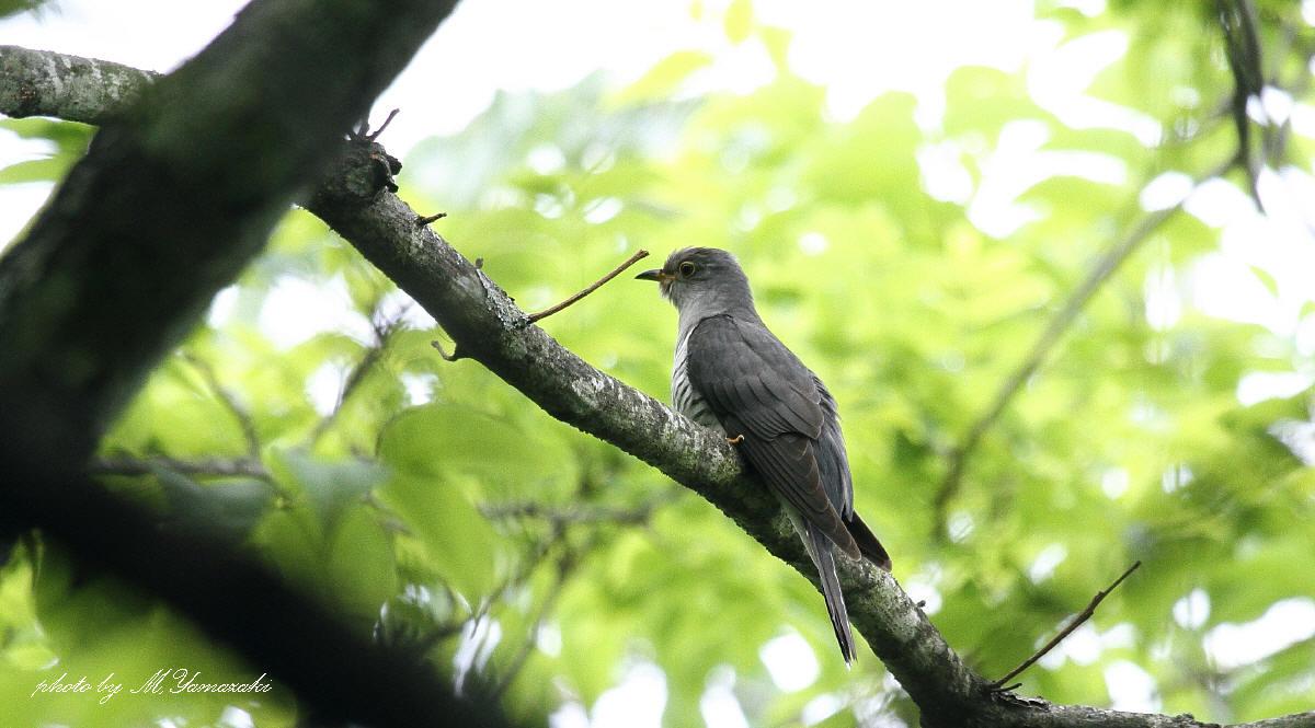 初夏の鳥 ホトトギス_c0217255_654257.jpg