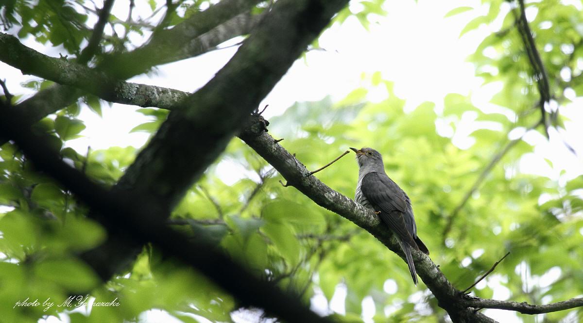 初夏の鳥 ホトトギス_c0217255_6542621.jpg