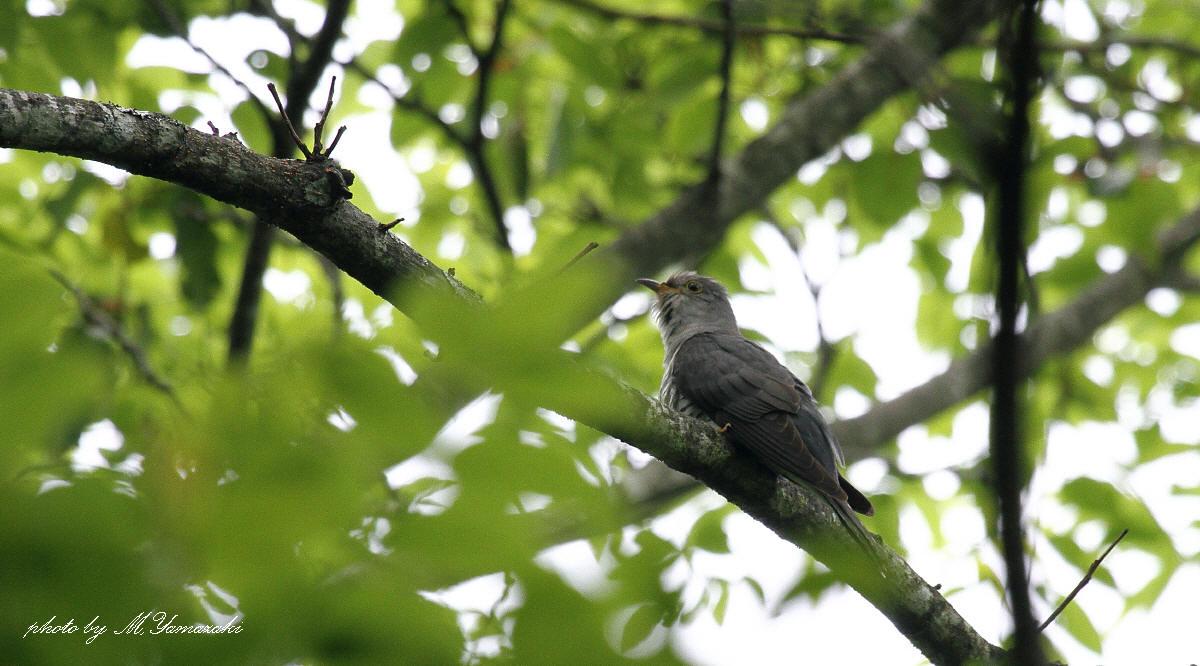 初夏の鳥 ホトトギス_c0217255_6545244.jpg
